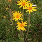 360px-Arnica_montana